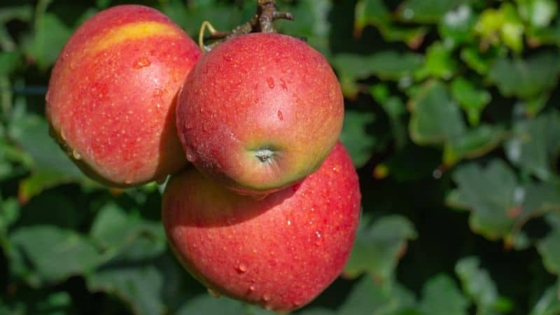 red apples ripening on a tree