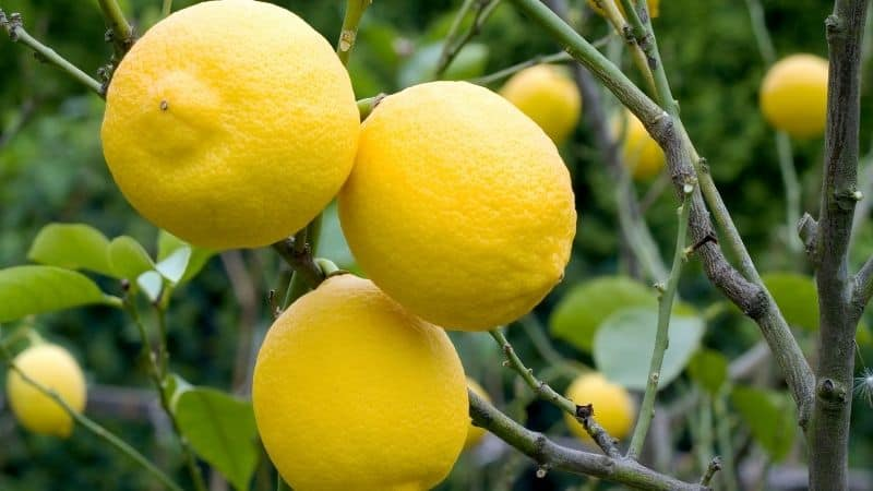 a lemon tree with lots of fruits