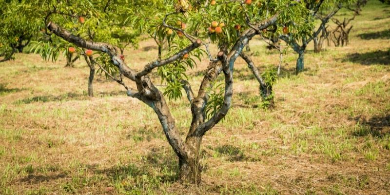 a peach trees trunk and roots