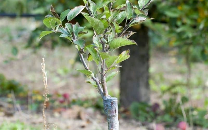 an apple tree that was grafted