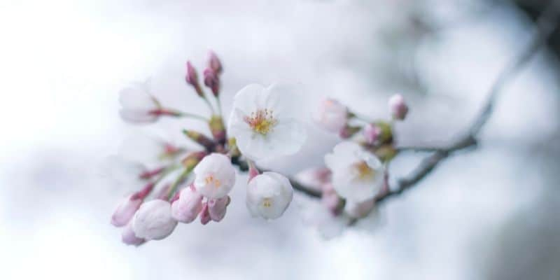 cherry tree blossoms in the winter