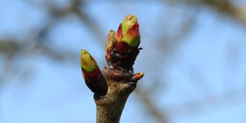 cherry tree flower bud