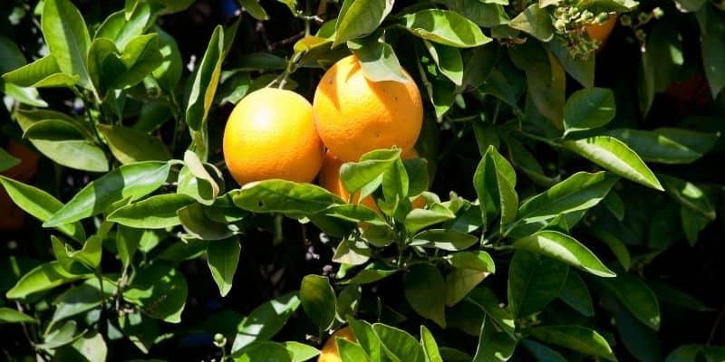 curled leaves on an orange tree