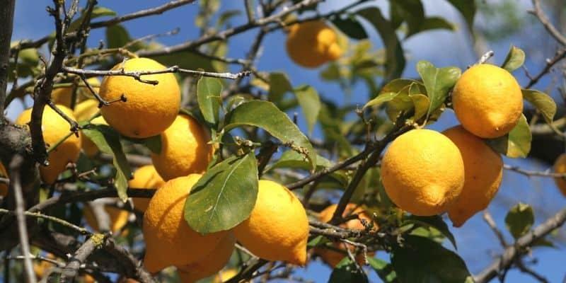 lemon tree that is losing leaves