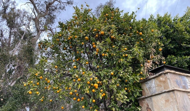 orange tree in my parent's backyard