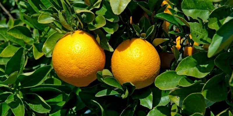 orange trees with fruits and green leaves