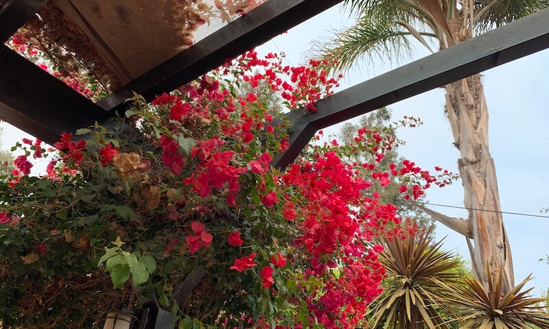 Bougainvillea planted under my parents palm tree