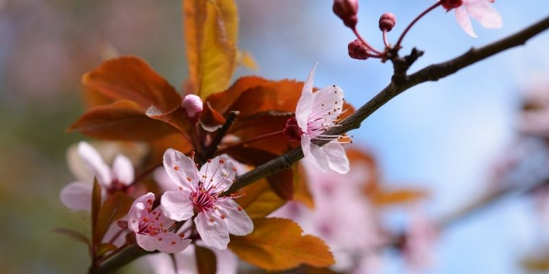 a blooming cherry tree with brown leaves