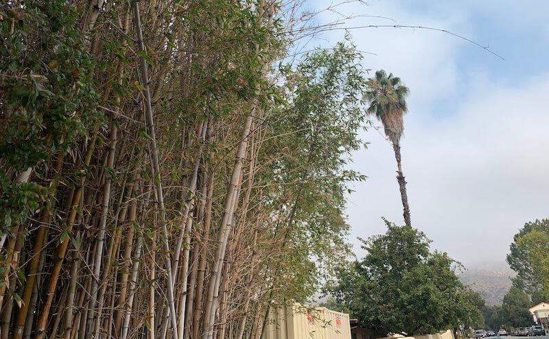 bamboo growing near a palm tree