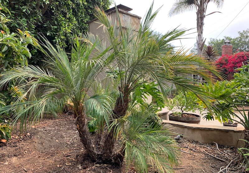 cycad planted near my parents palm tree
