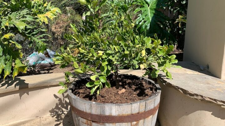 my kaffir lime tree dying with yellow and dropping leaves