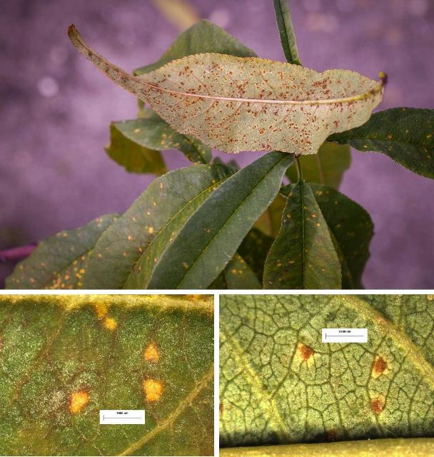 yellow and brown leaves from peach tree rust