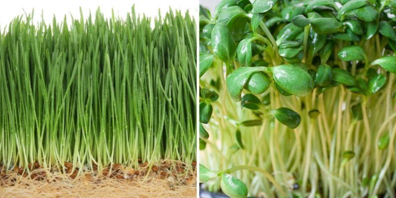 monocot vs dicot wheatgrass vs microgreens