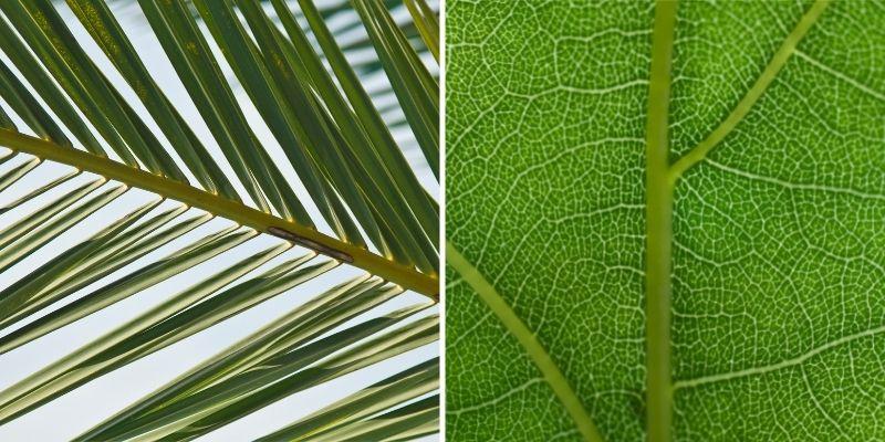 palm tree leaf vs oak tree leaf